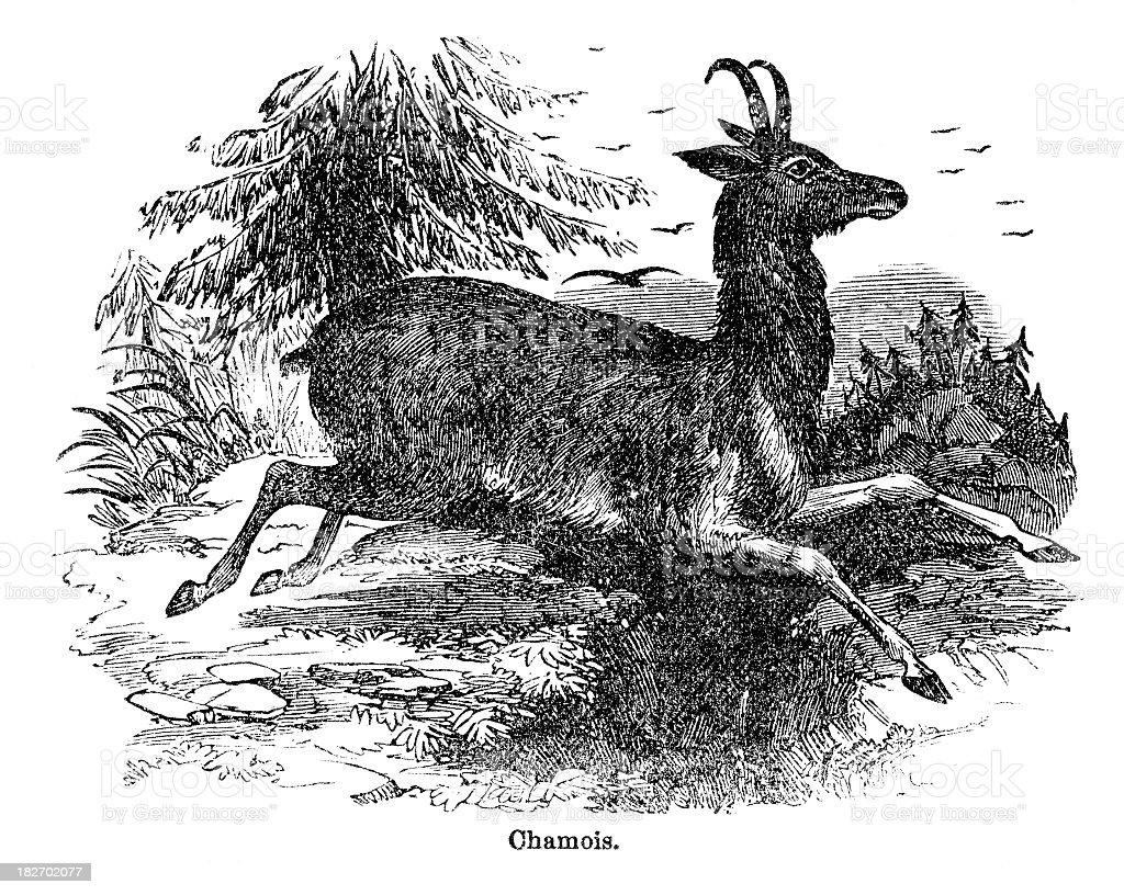 chamois royalty-free stock vector art