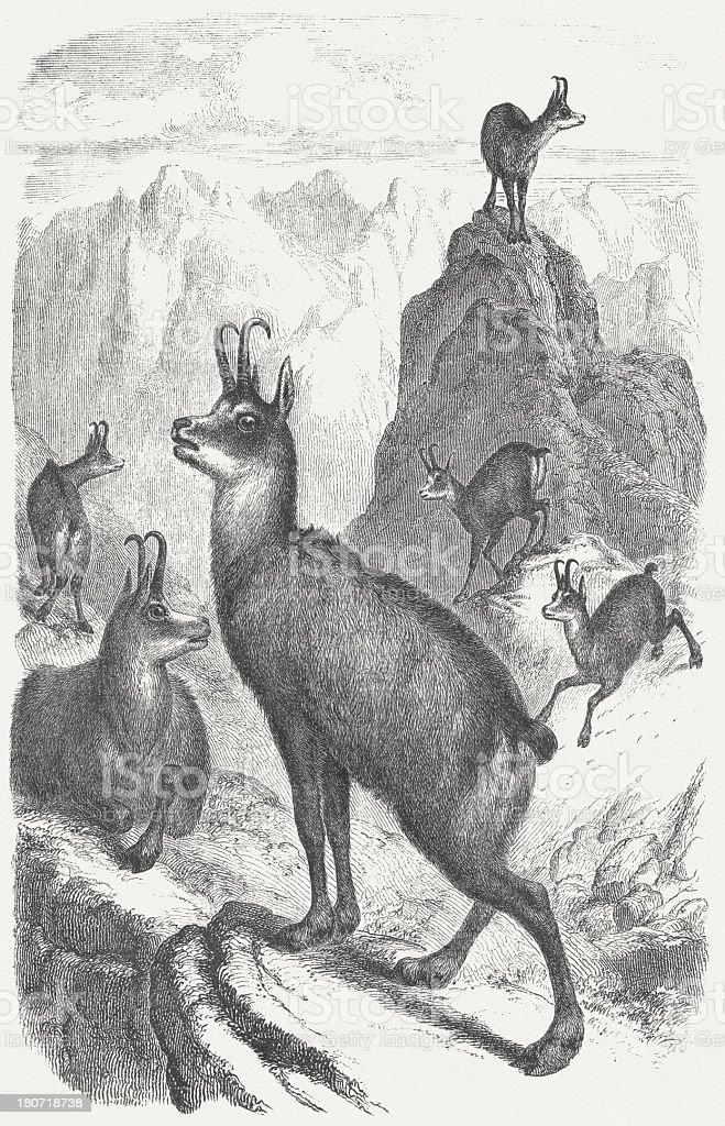 Chamois (Rupicapra rupicapra), wood engraving, published in 1854 vector art illustration