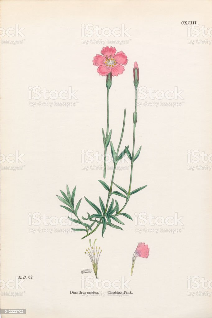 Cheddar Pink, Dianthus Caesius, Victorian Botanical Illustration, 1863 vector art illustration