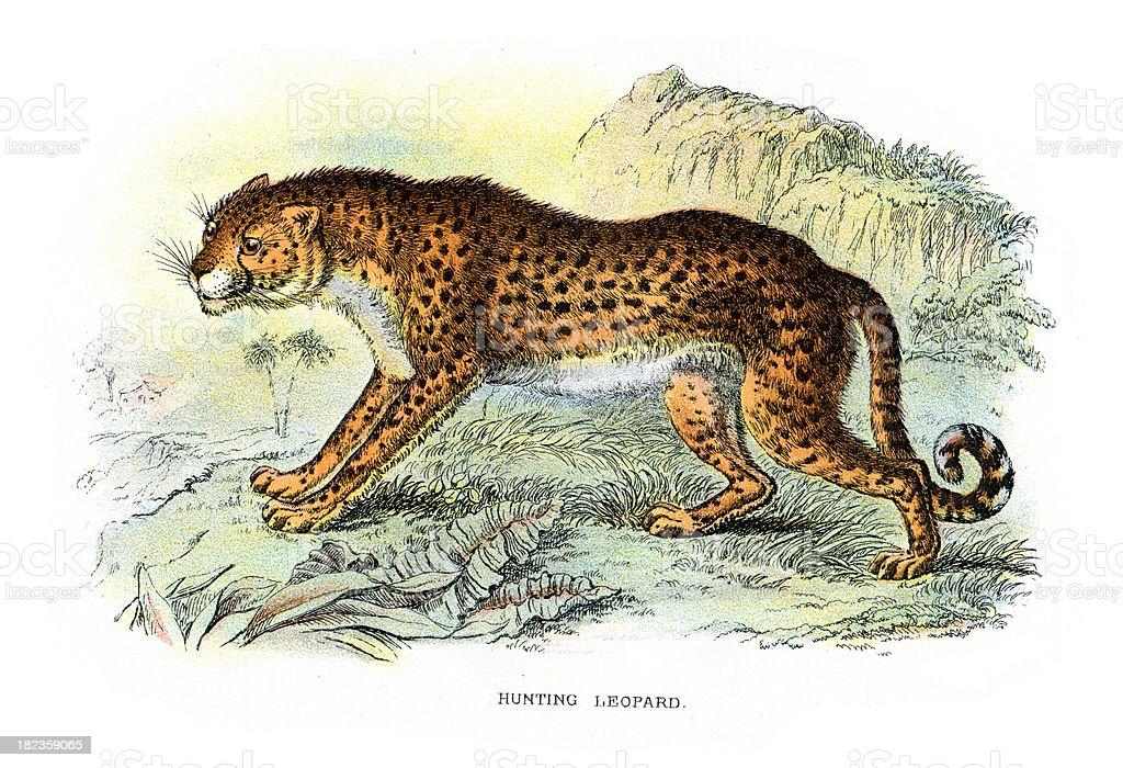 Cheetah (Acinonyx jubatus) royalty-free stock vector art