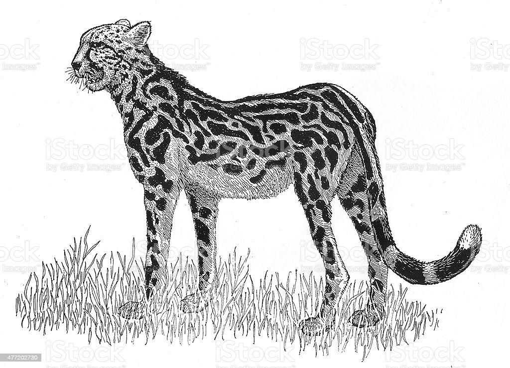 Gepard Lizenzfreies vektor illustration