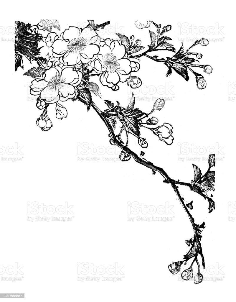 Cherry Blossom vector art illustration