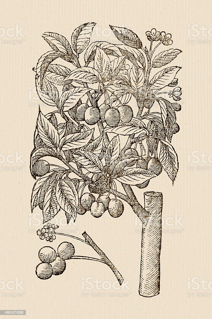 Cherry tree , 17 century botanical illustration vector art illustration