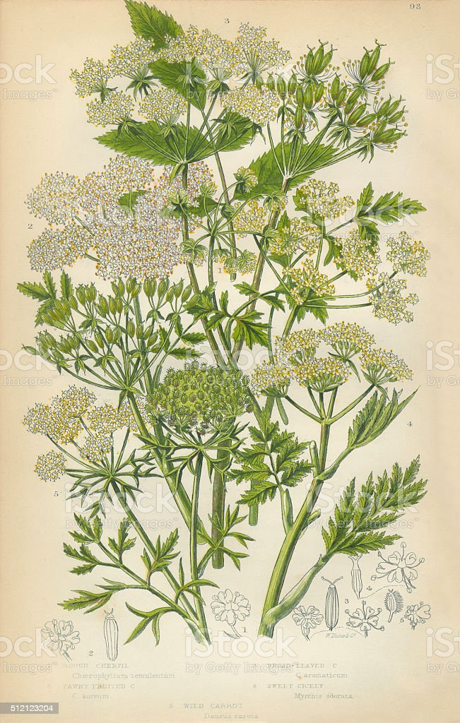 Chervil, Carrot, Sweet Cicely, Cicely, Victorian Botanical Illustration stock photo