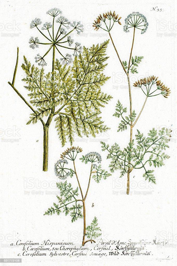 Chervil culinary and medicinal herb vector art illustration