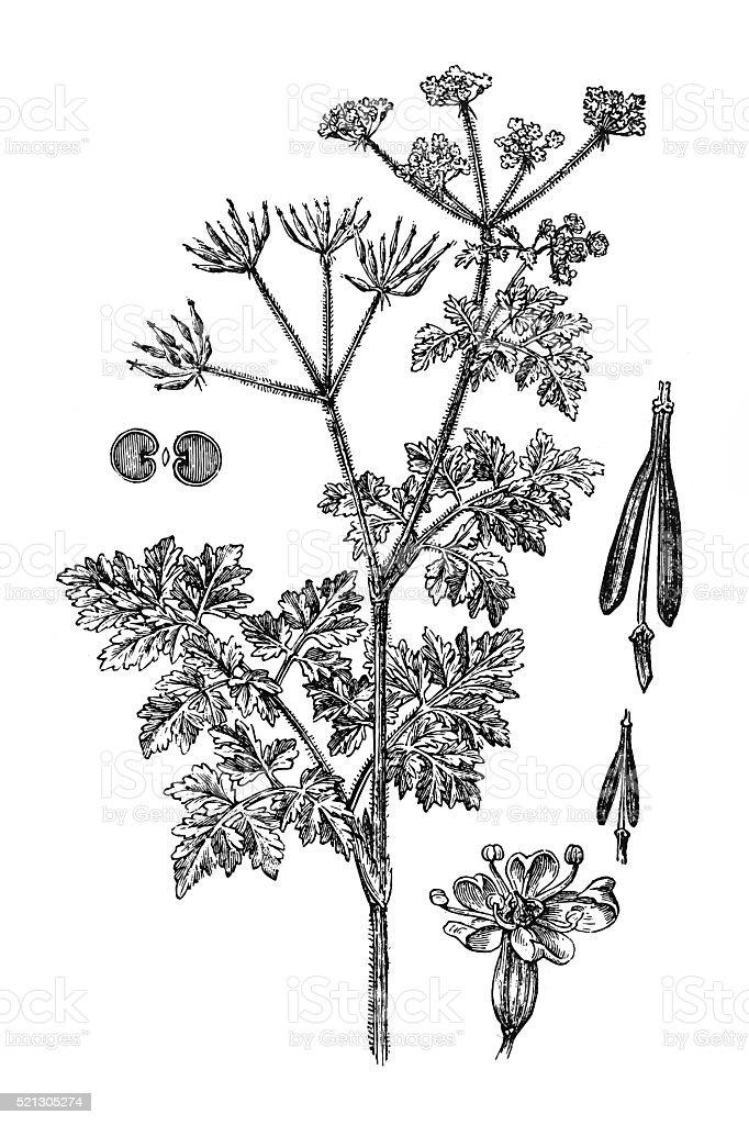 Chervil (Anthriscus cerefolium) vector art illustration