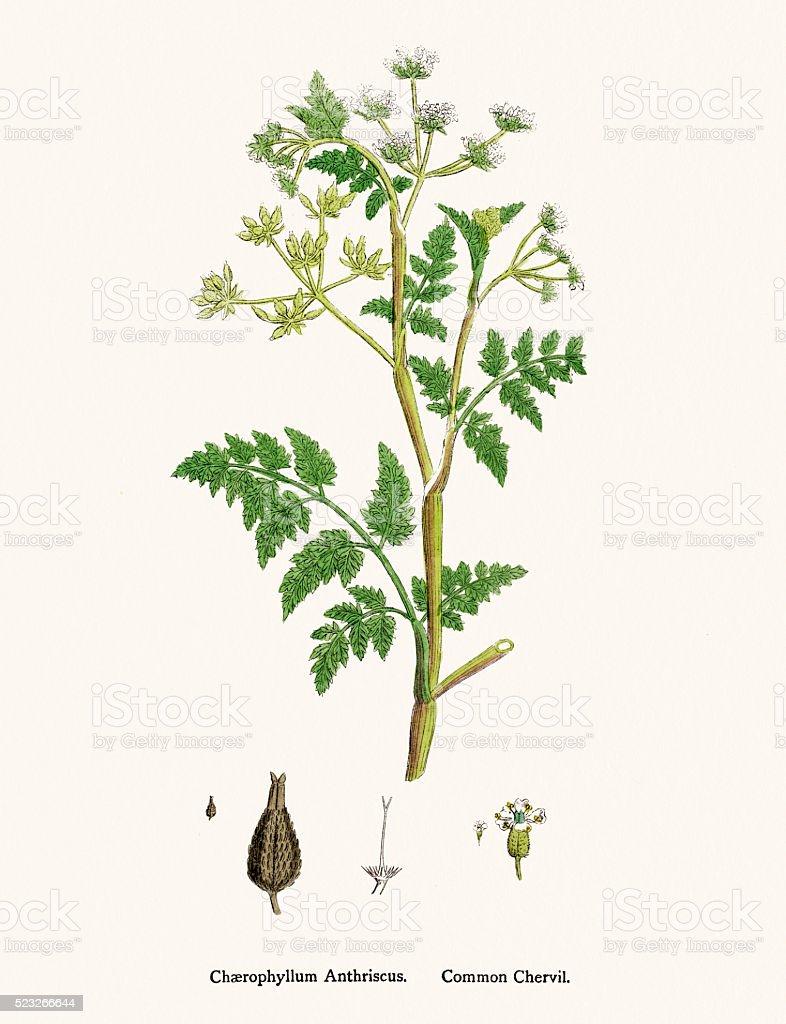 Chervil plant scientific illustration vector art illustration