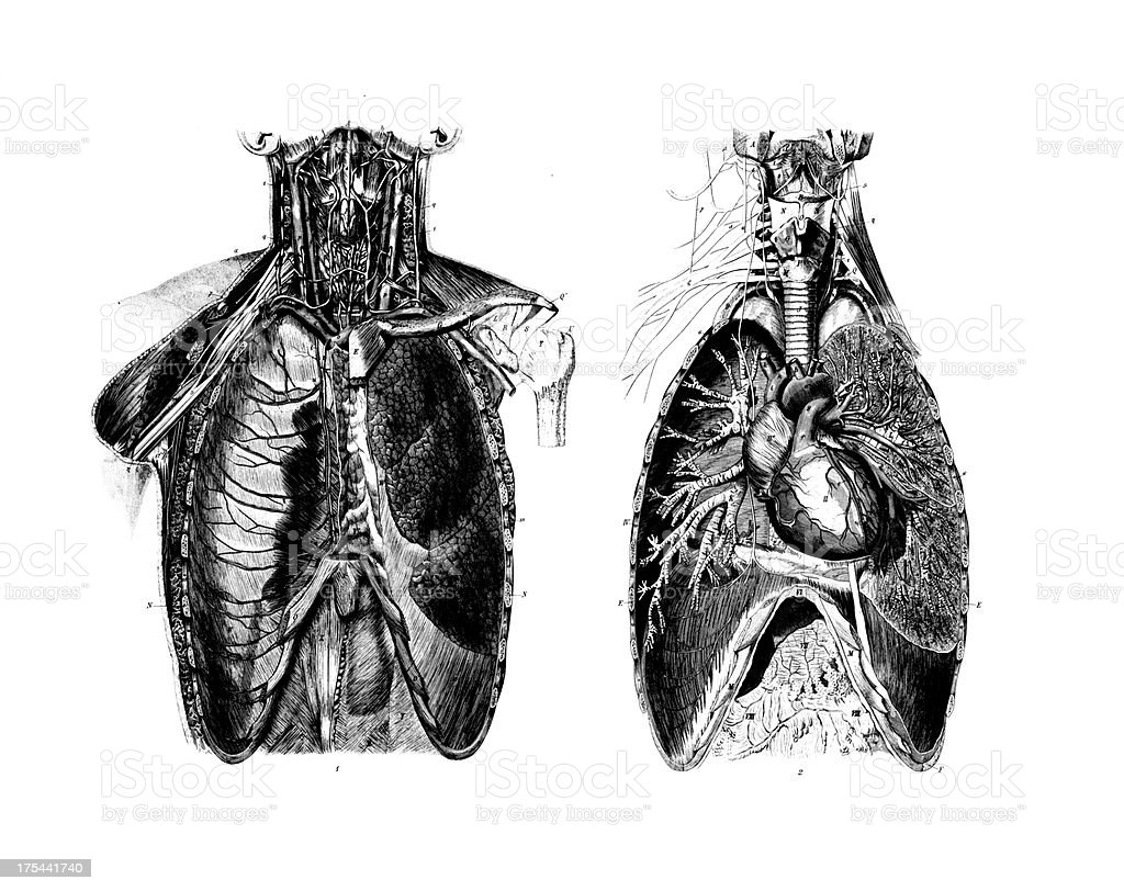 Chest Anatomy Set | Antique Medical Scientific Illustrations and Charts vector art illustration