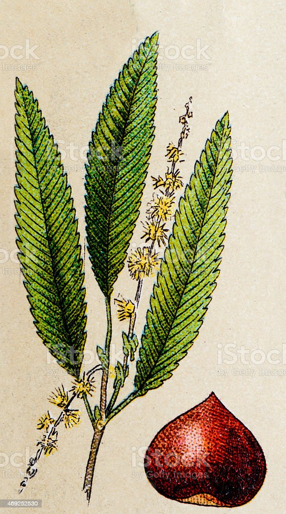 Chestnut, plants antique illustration vector art illustration