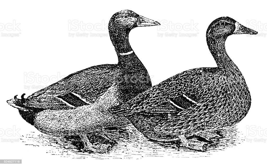 Chicken and cockerel vector art illustration