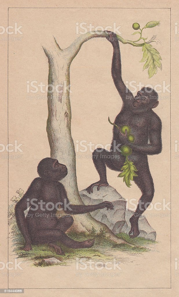 Chimpanzees (Pan troglodytes), lithograph, published in 1873 vector art illustration