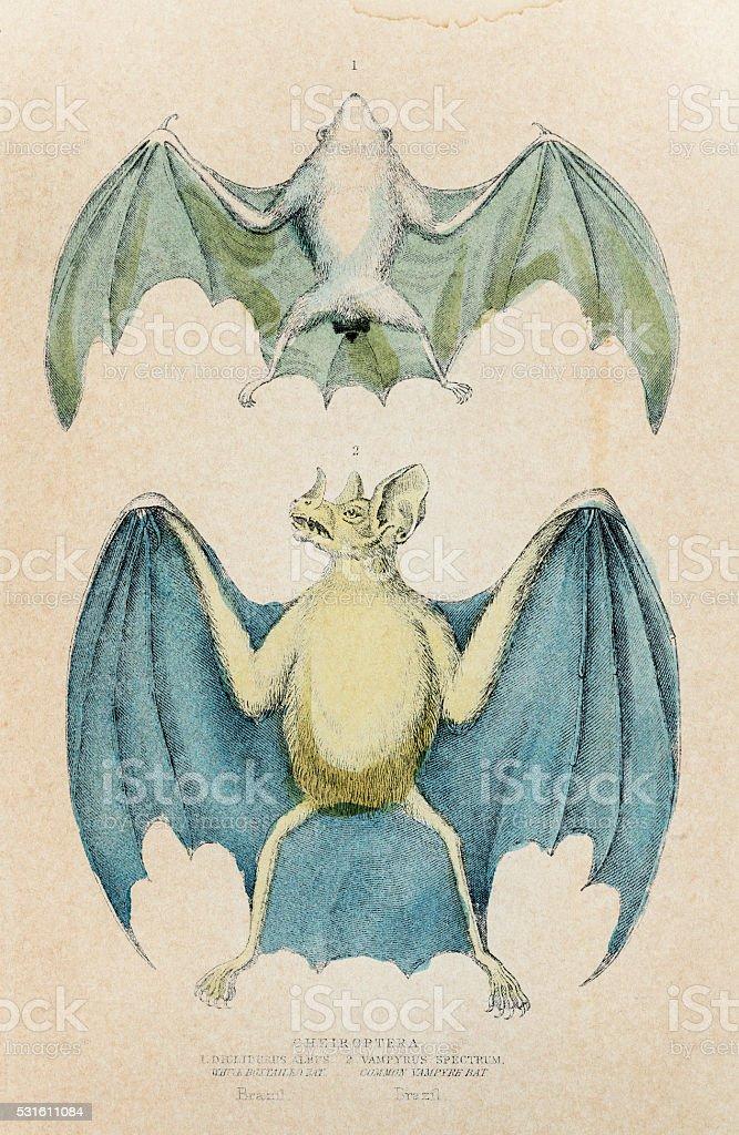 Chiroptera bat engraving 1855 vector art illustration