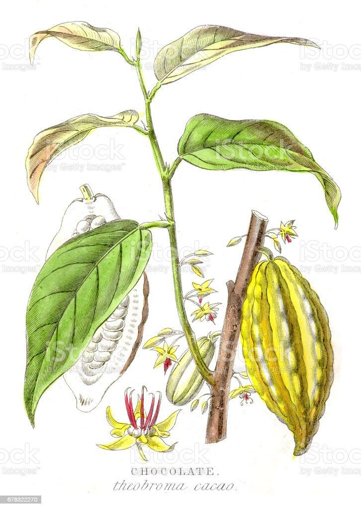 Chocolate plant botanical engraving 1857 vector art illustration