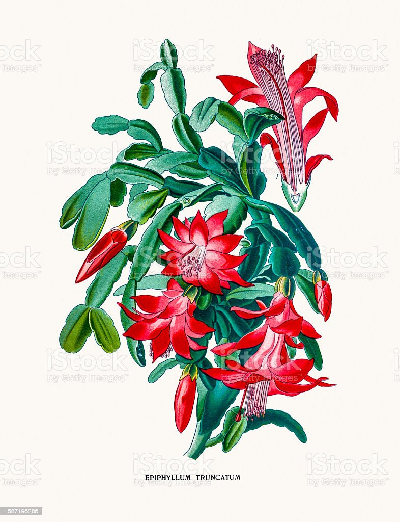 Christmas cactus vector art illustration
