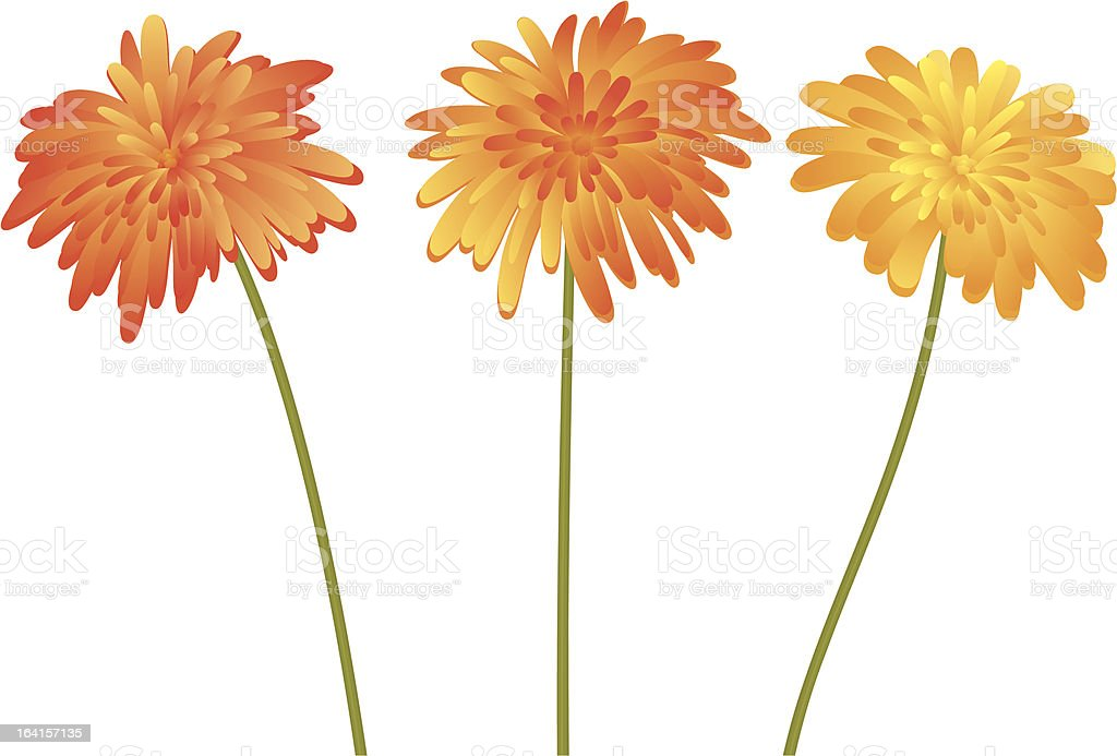 Chrysanthemum vector art illustration