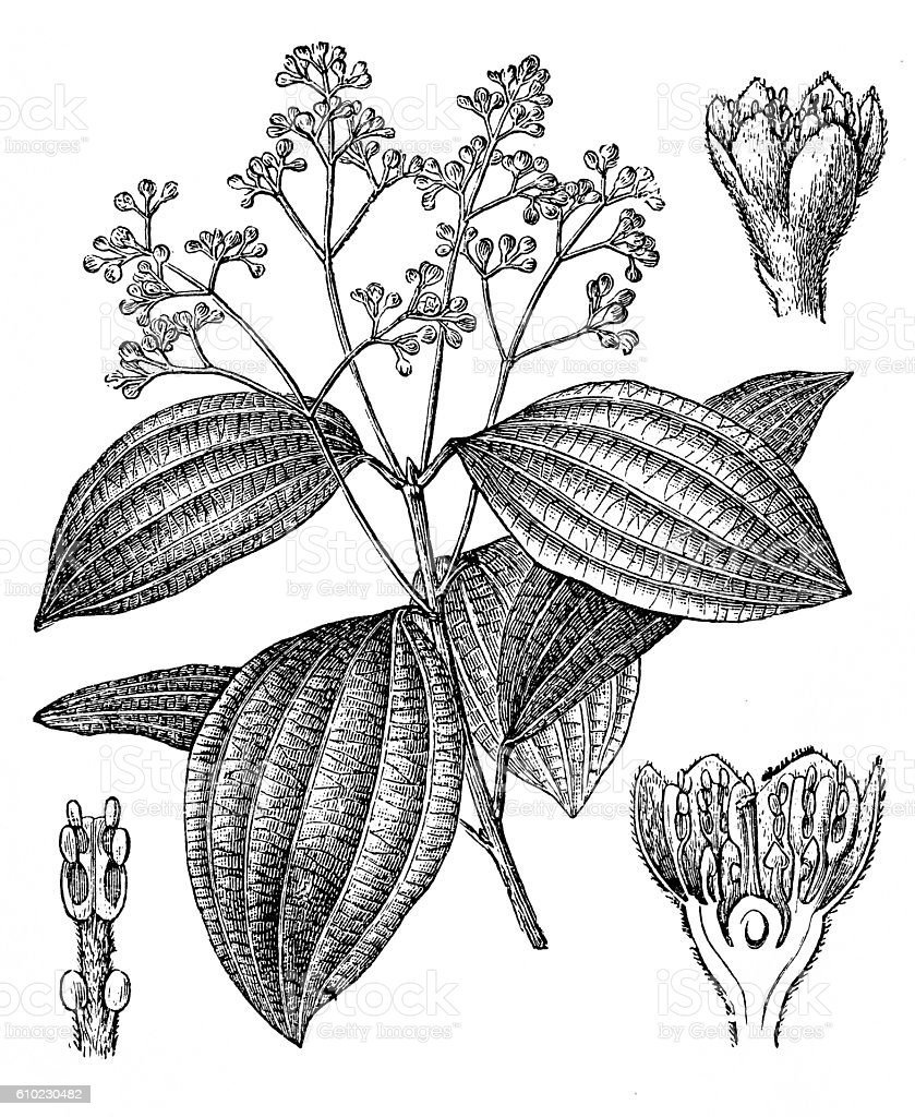 Cinnamon (Cinnamomum ceylanicum, Cinnamomum verum) vector art illustration