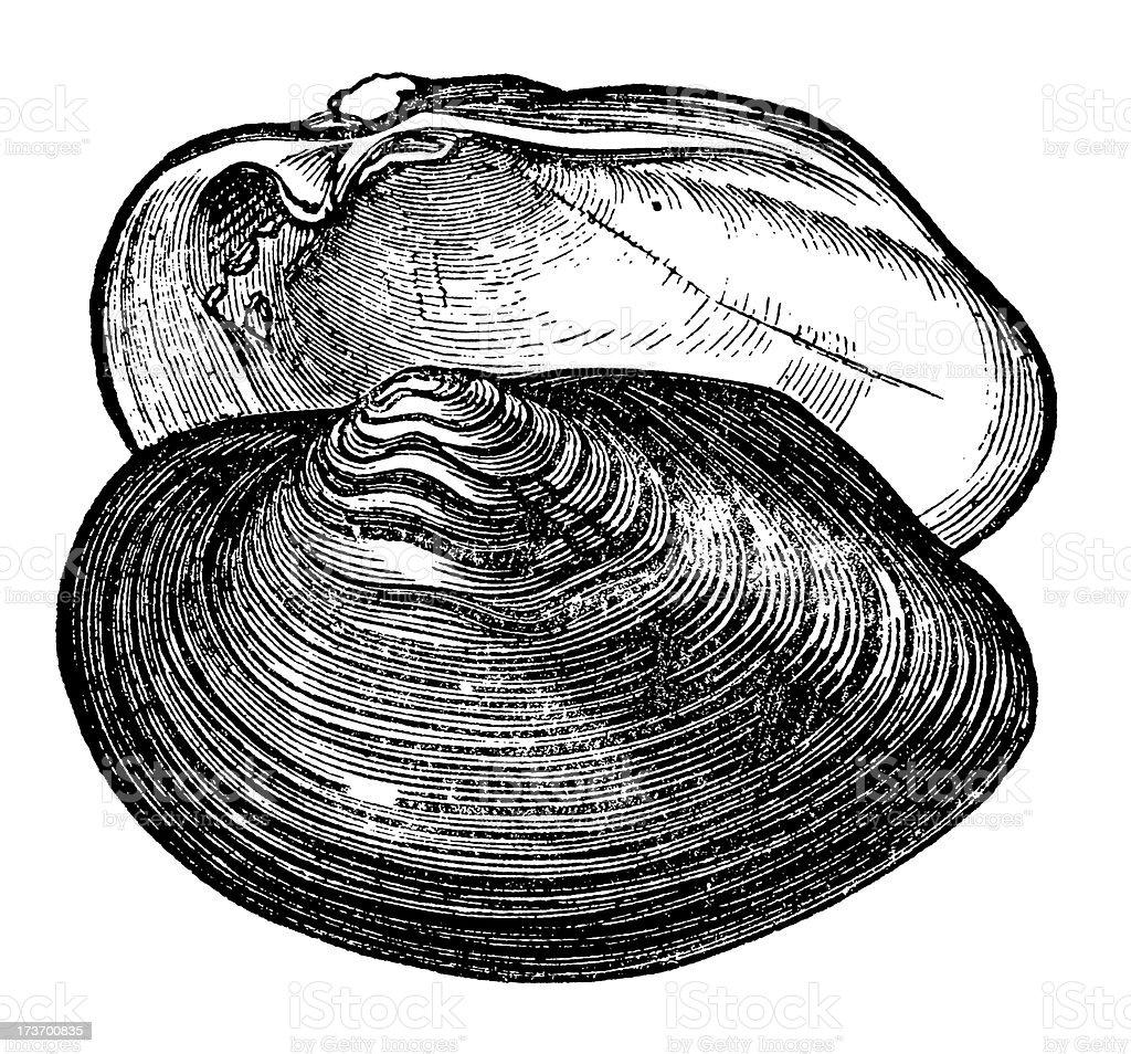 Clam shell vector art illustration