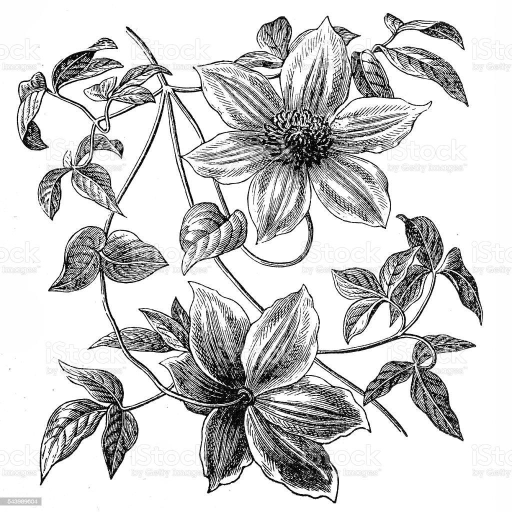 Clematis flowers vector art illustration
