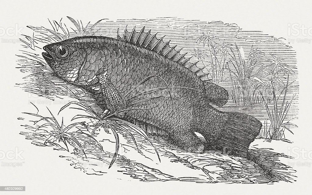 Climbing perch, published in 1868 vector art illustration