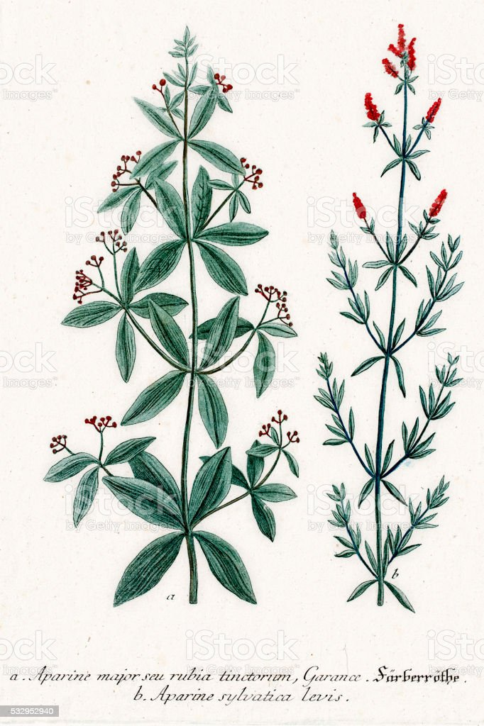 Clivers or Aparine medicinal herbs and tonic vector art illustration
