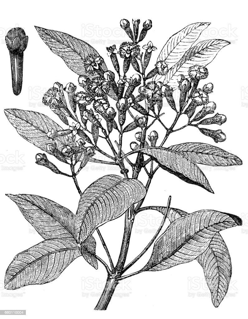 Cloves or Syzygium aromaticum or Eugenia aromaticum or Eugenia caryophyllata vector art illustration
