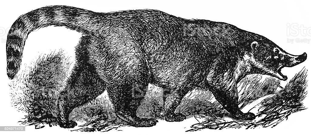 Coati (Nasua socialis) vector art illustration