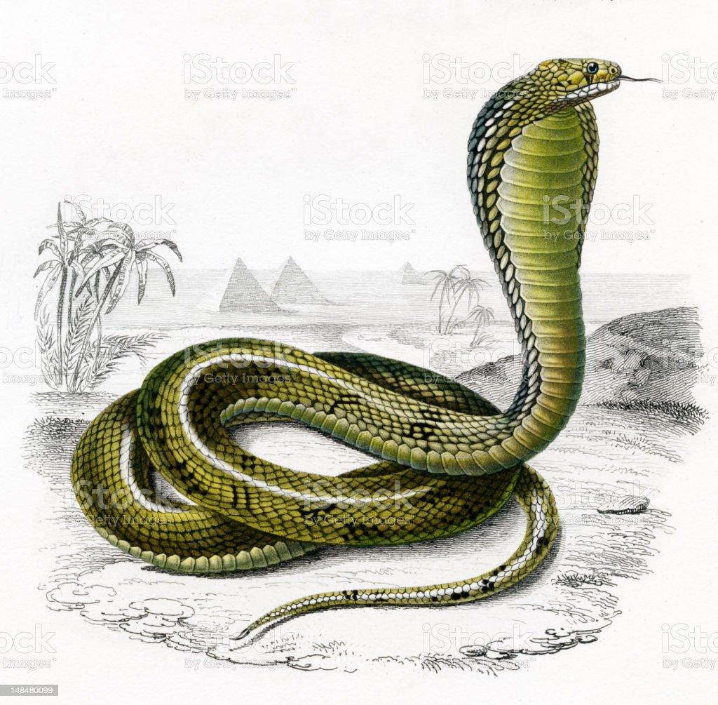 cobra, historic Illustration, 1849 vector art illustration