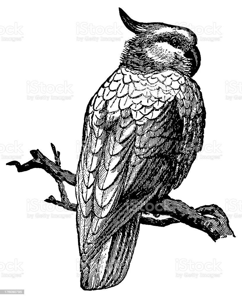 Cockatoo | Antique Bird Illustrations royalty-free stock vector art