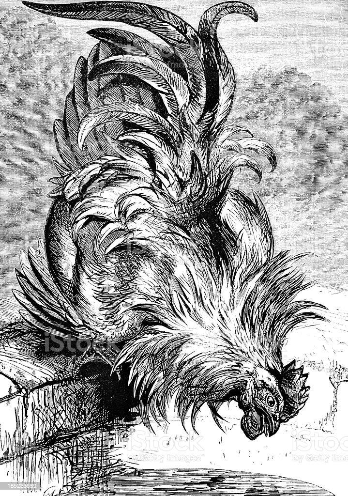 Cockerel Drinking Water - Victorian Illustration royalty-free stock vector art
