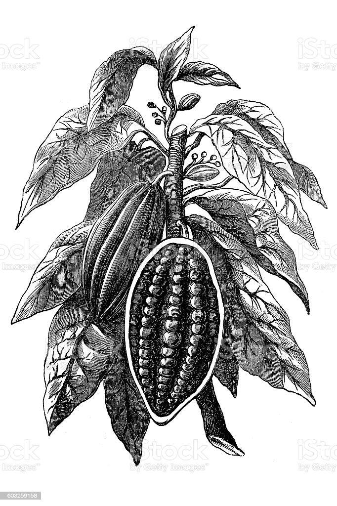 Cocoa bean vector art illustration