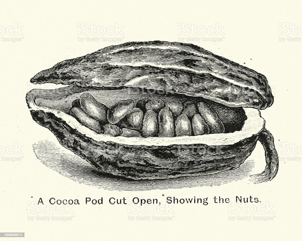 Cocoa Pod Cut open showing the nuts vector art illustration