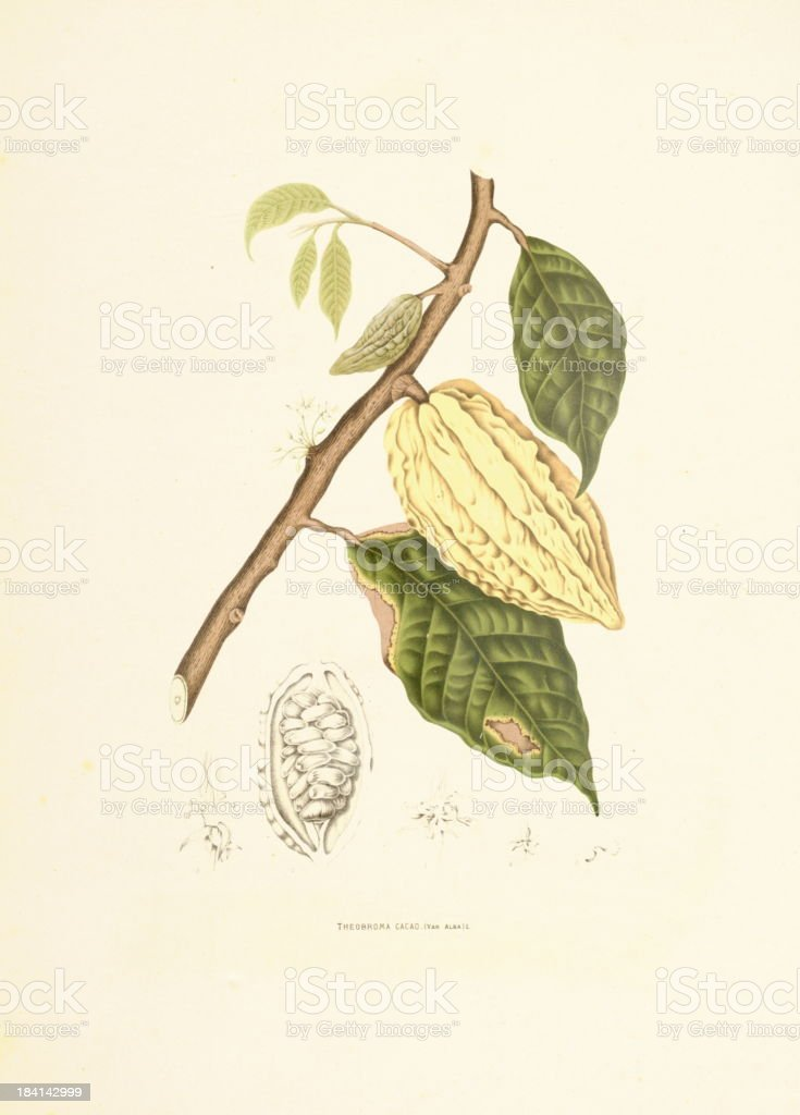 Cocoa tree | Antique Plant Illustrations vector art illustration