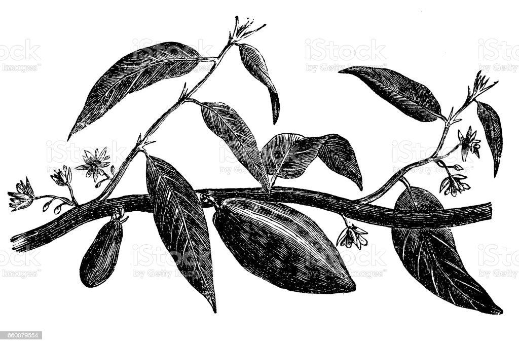 Cocoa tree vector art illustration