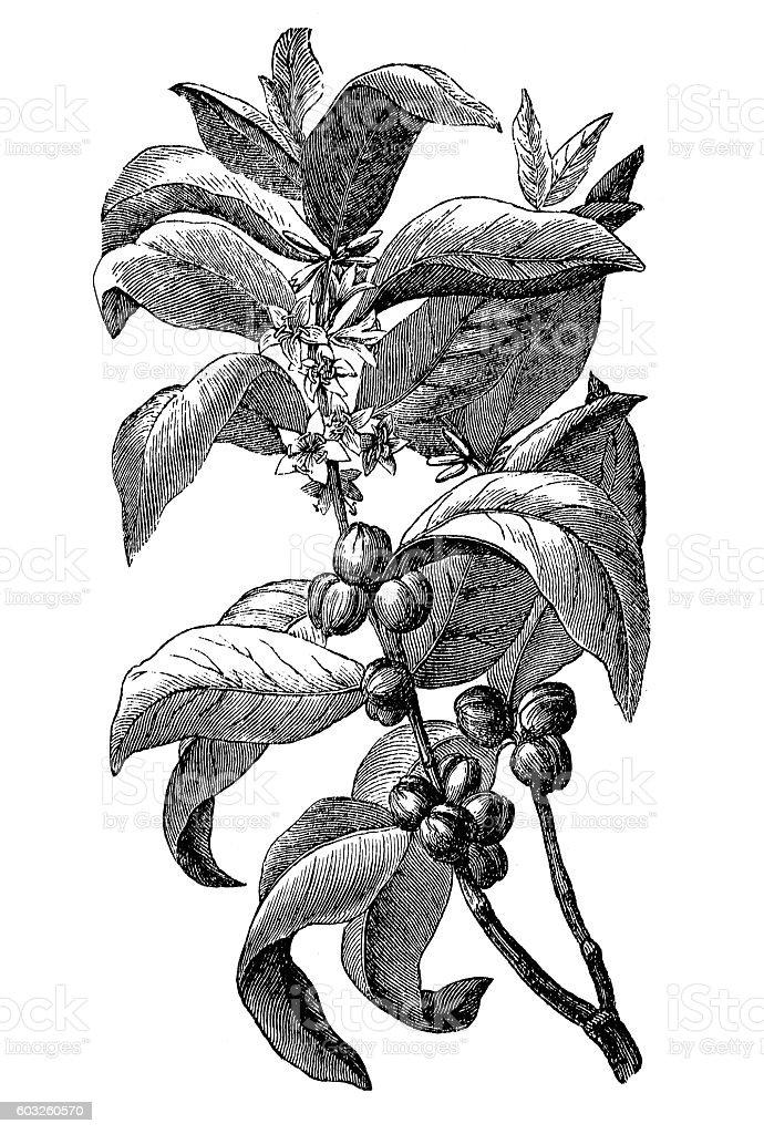 Coffee branch vector art illustration