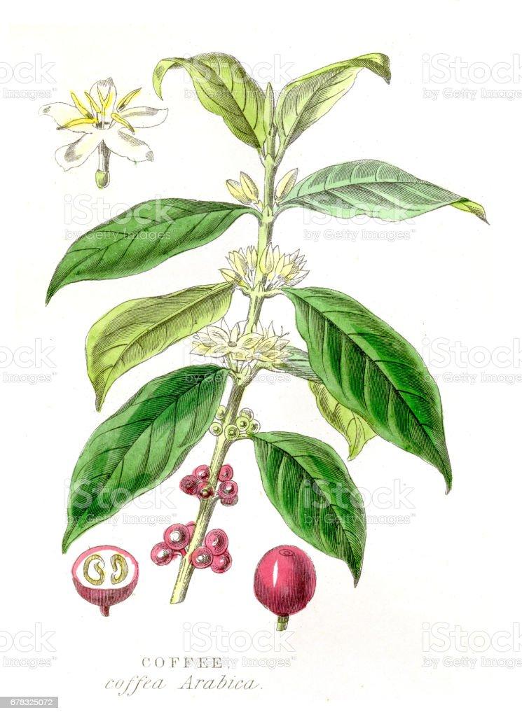 Coffee crop botanical engraving 1857 vector art illustration