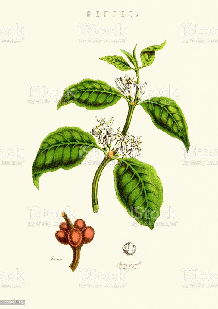 Coffee Plant vector art illustration