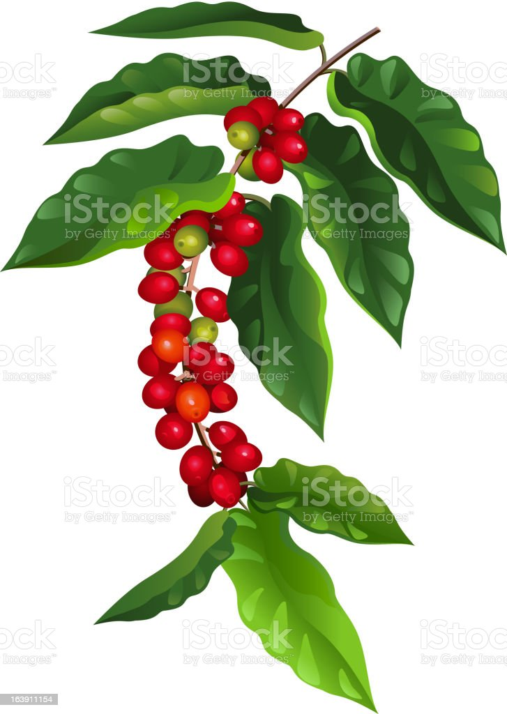 Coffee Tree Branch With Ripe Beans stock vector art ...