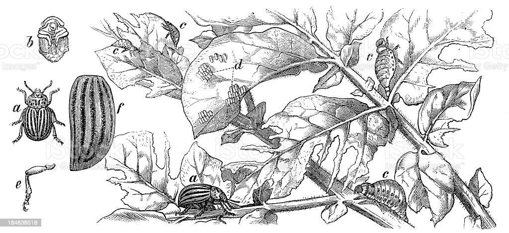 Colorado Potato Beetle (Leptinotarsa Decemlineata) vector art illustration