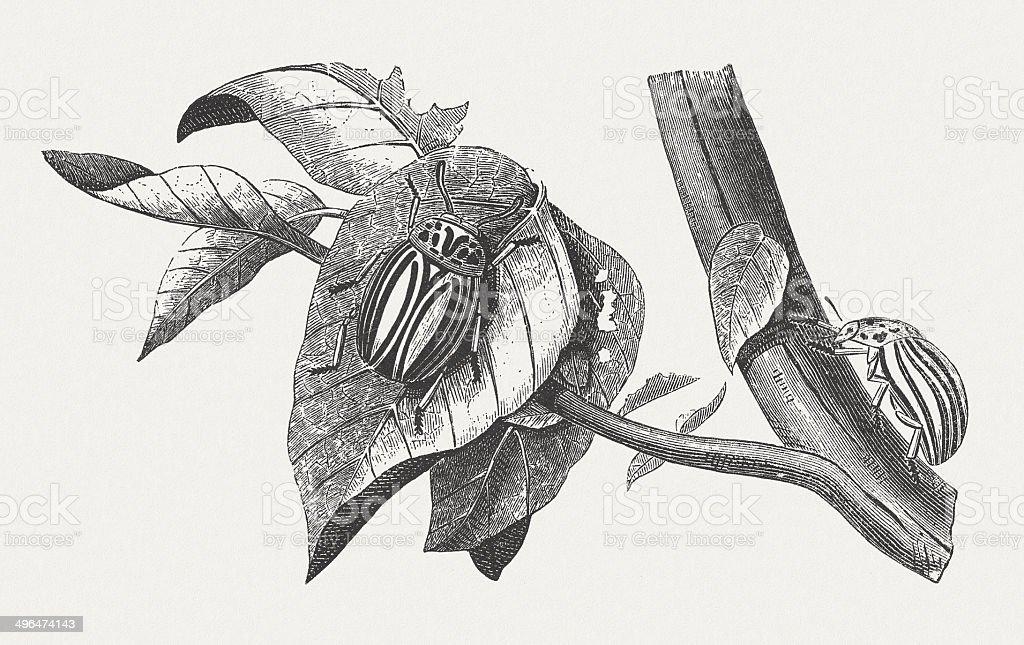 Colorado potato beetle (Leptinotarsa decemlineata), wood engraving, published in 1881 vector art illustration