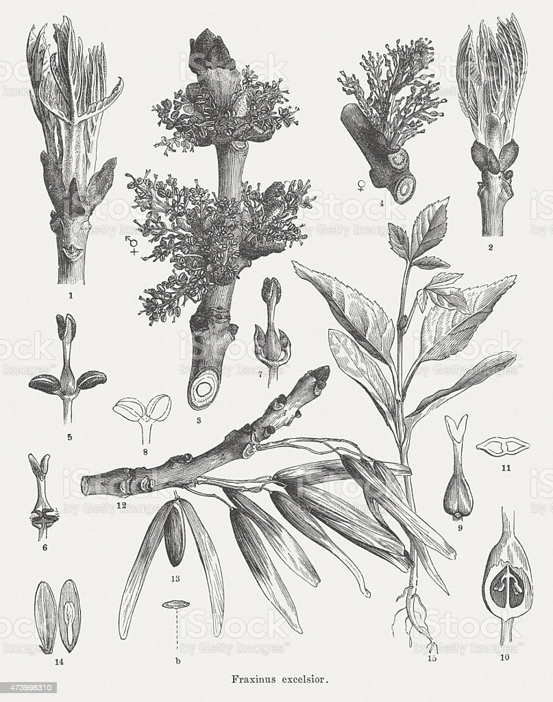 Common ash (Fraxinus excelsior), wood engravings, published in 1875 vector art illustration