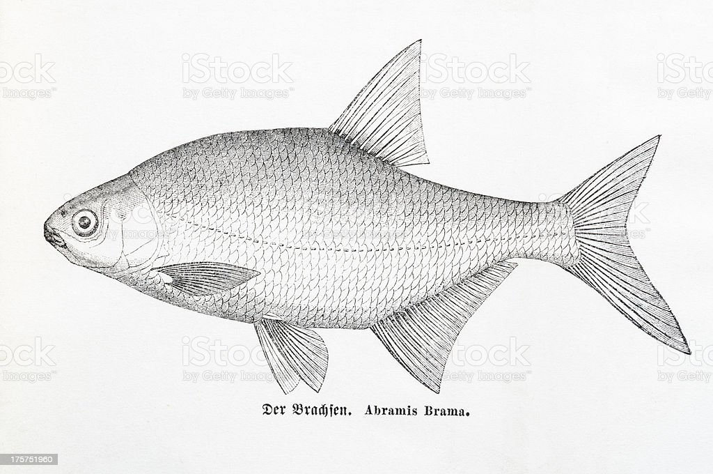 Common bream (Abramis brama) antique engraving royalty-free stock vector art