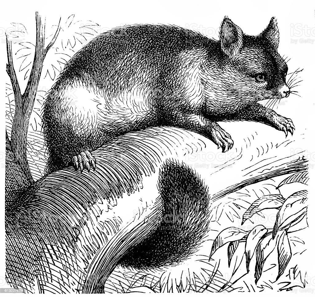 Common brushtail possum (Trichosurus vulpecula) vector art illustration