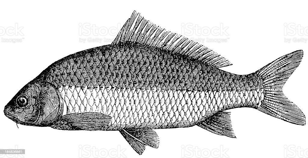 Common Carp (Cyprinus Carpio) vector art illustration