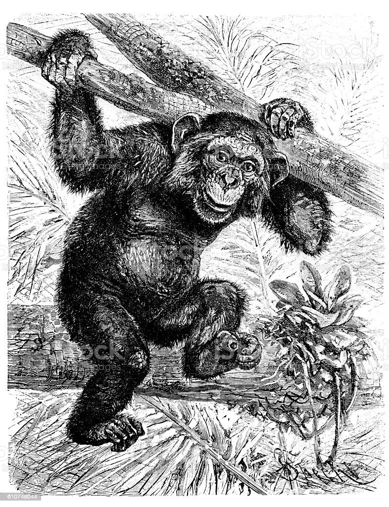 Common chimpanzee (Pan troglodytes) vector art illustration
