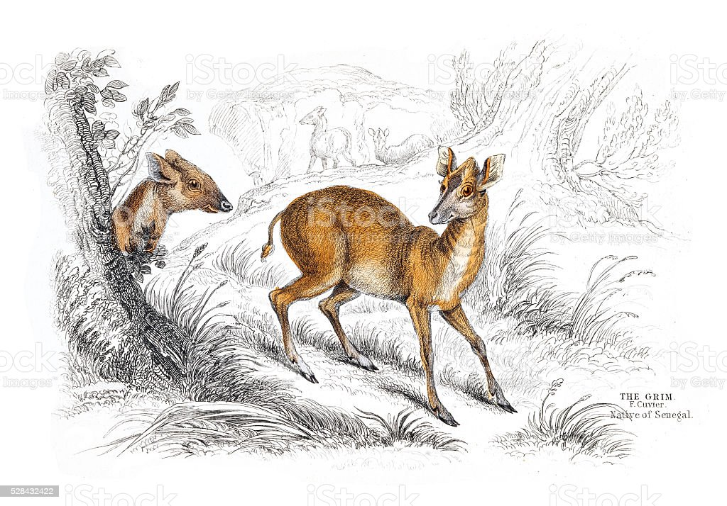 Common Duiker engraving 1855 stock photo