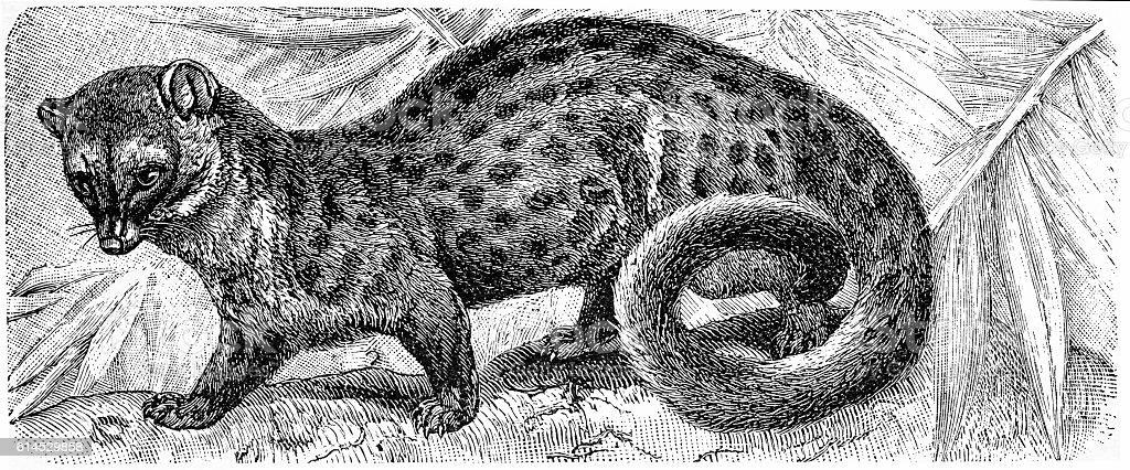 Common Genet (Genetta genetta) vector art illustration