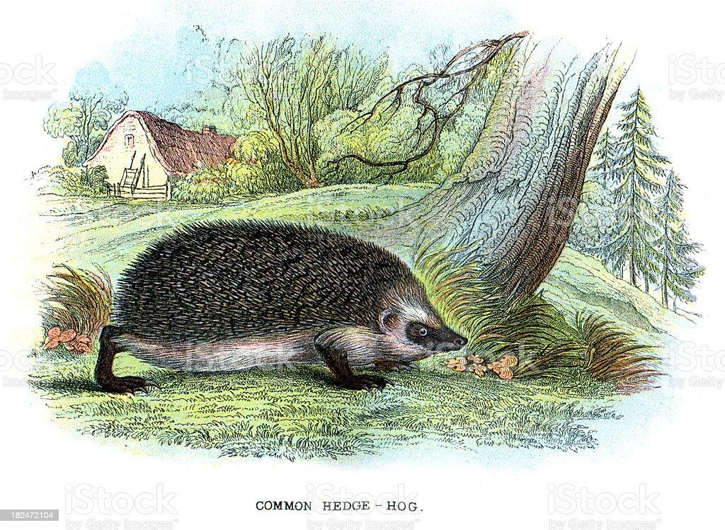 Common Hedgehog (Erinaceus europaeus) vector art illustration