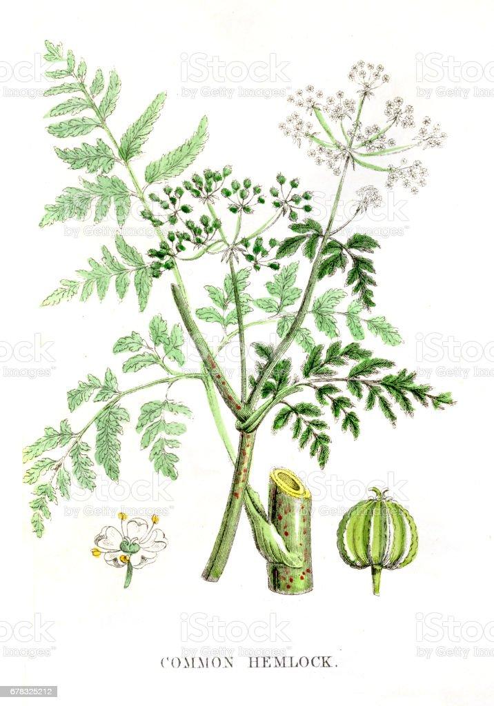 Common Hemlock botanical engraving 1847 vector art illustration