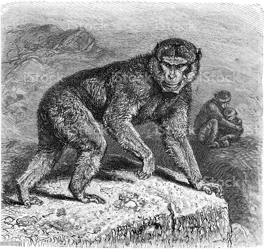 Common macaque vector art illustration