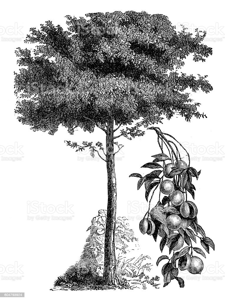 Common Nutmeg (Myristica fragrans) vector art illustration